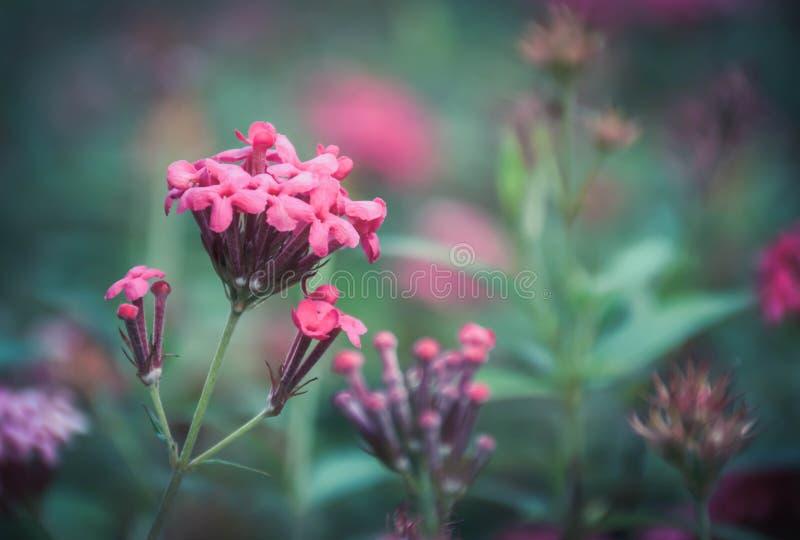 Flor rosada del punto en el jardín con el fondo verde fotos de archivo