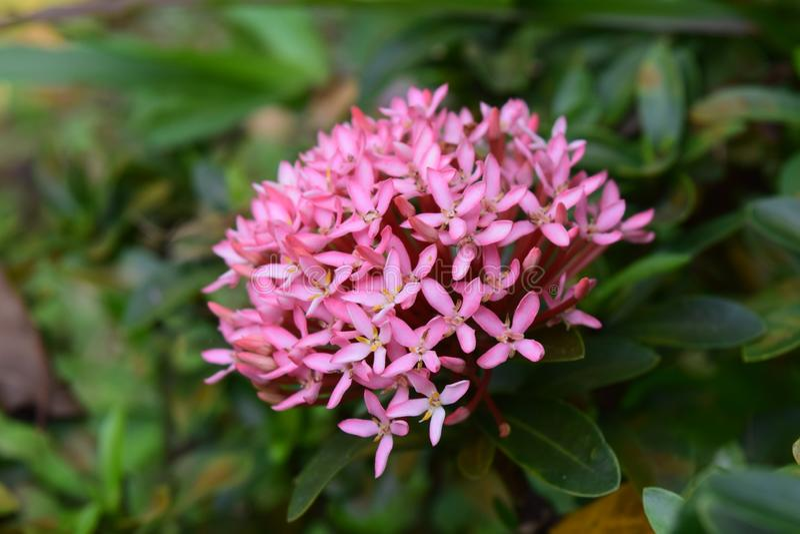 Flor rosada del punto en el jardín fotografía de archivo libre de regalías