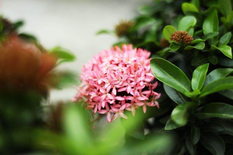 Flor rosada del punto en jardín fotos de archivo libres de regalías