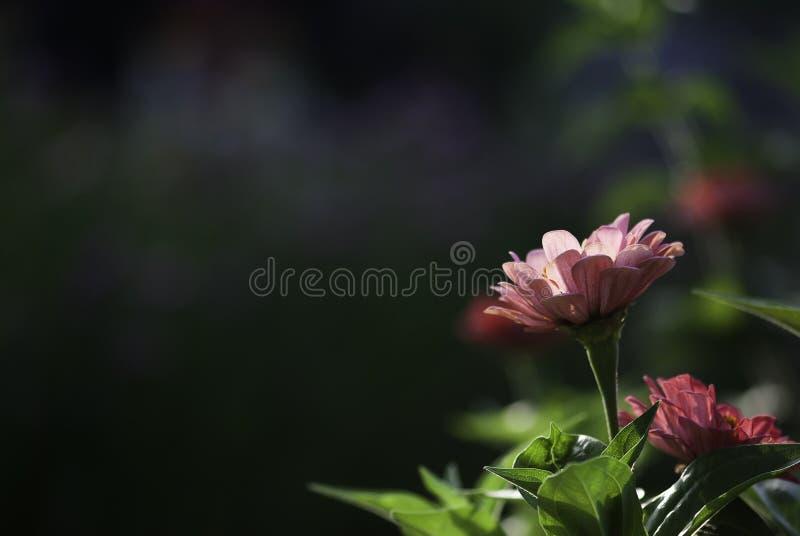Flor rosada del Zinnia foto de archivo