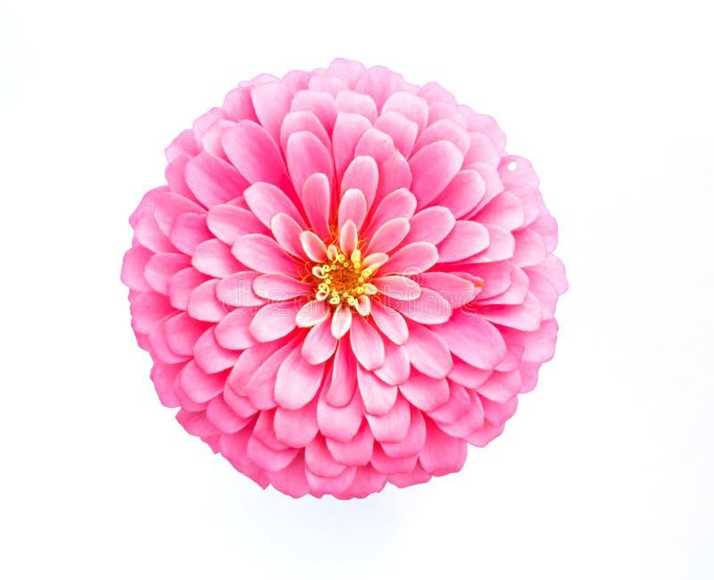 Flor rosada del zinnia en el fondo blanco imagenes de archivo