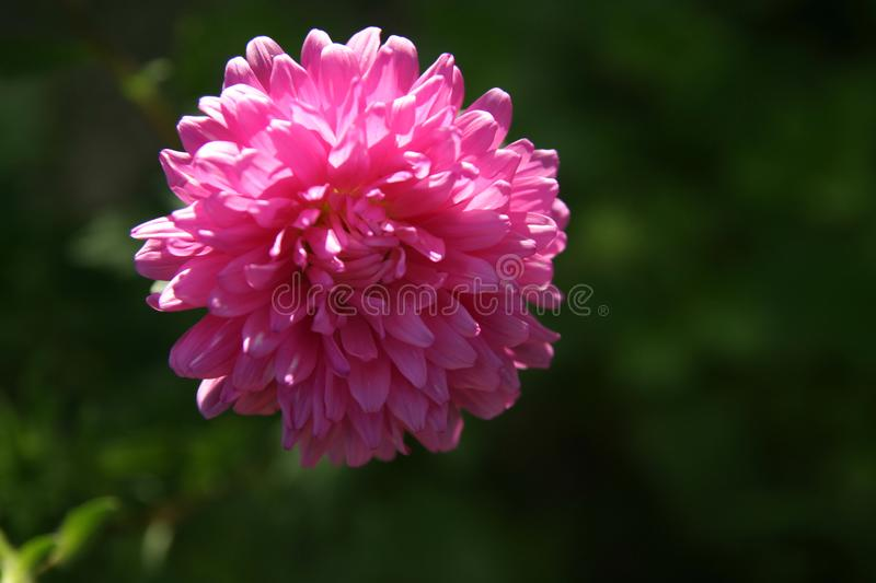 Flor rosada en el jardín foto de archivo