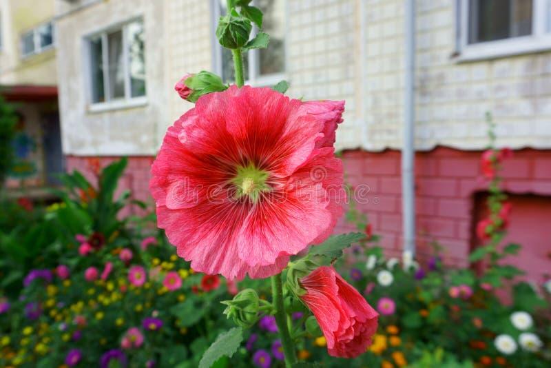 Flor rosada en macizo de flores en el fondo del edificio de apartamentos imagenes de archivo
