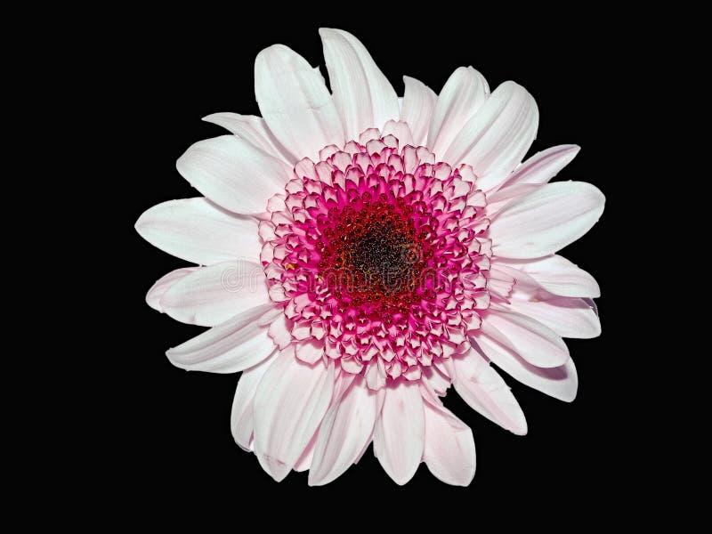 Flor rosada en negro fotos de archivo