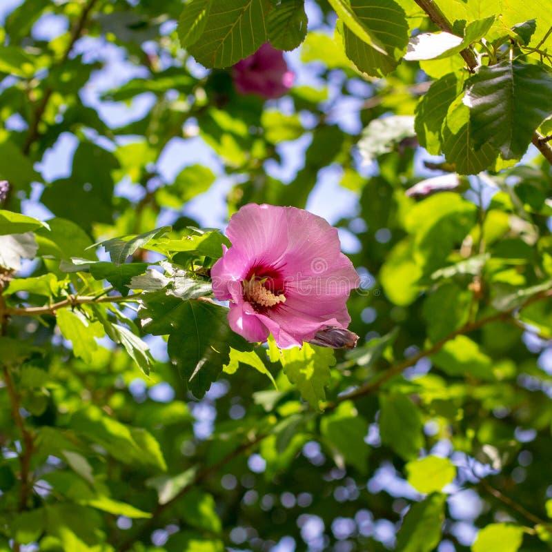 Flor rosada en un árbol fotos de archivo