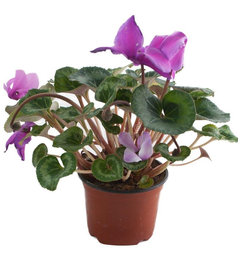 Flor rosada en un crisol aislado en blanco fotos de archivo libres de regalías