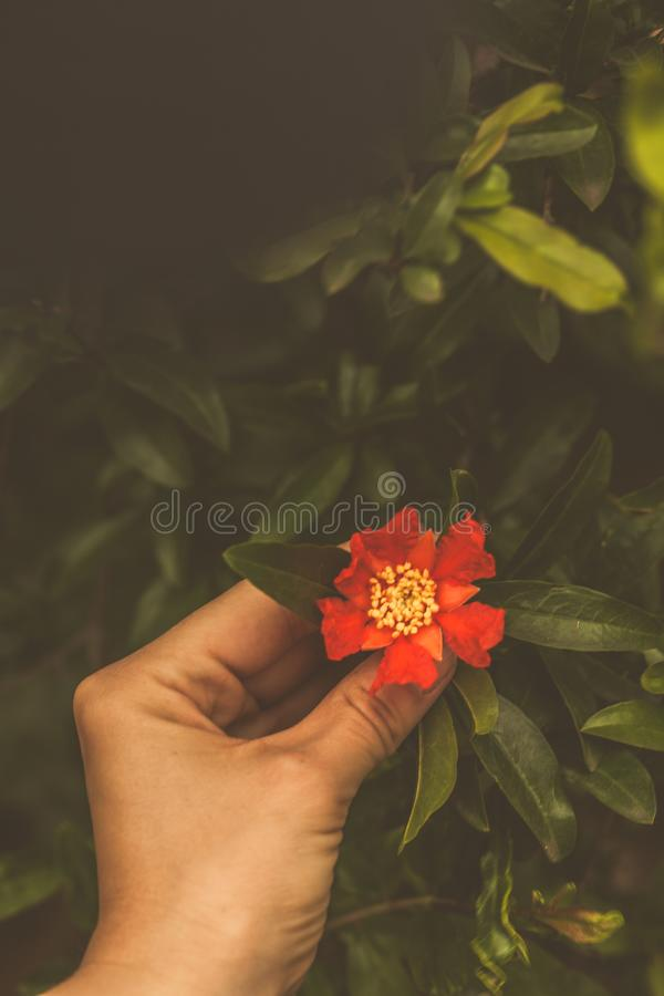 Flor rosada floreciente de la granada a disposición en hojas verdes imágenes de archivo libres de regalías