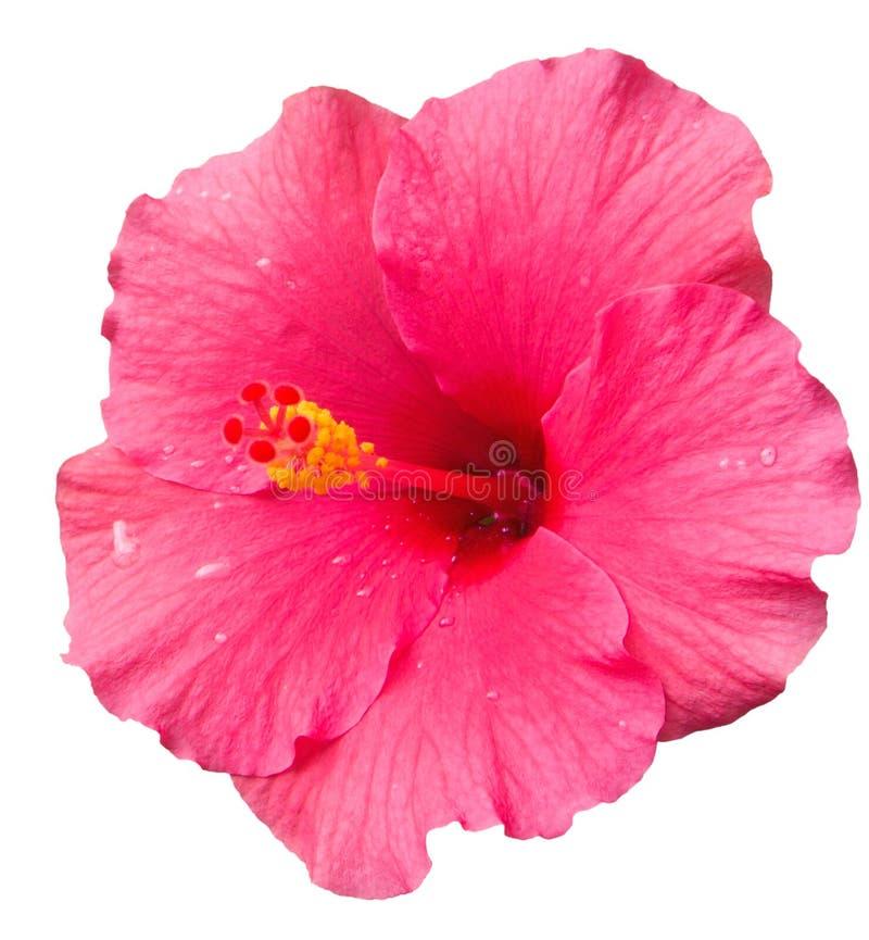 Flor rosada grande del hibisco después de la lluvia aislada en el fondo blanco fotos de archivo libres de regalías