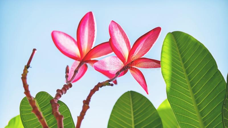 Flor rosada hermosa con las ramas y las hojas imagen de archivo libre de regalías