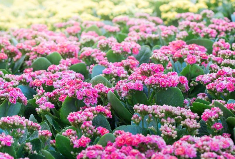 Flor rosada hermosa de Kalanchoe en jardín fotografía de archivo