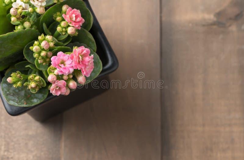 Flor rosada hermosa de Kalanchoe o el flamear Katy en pequeño pote fotos de archivo