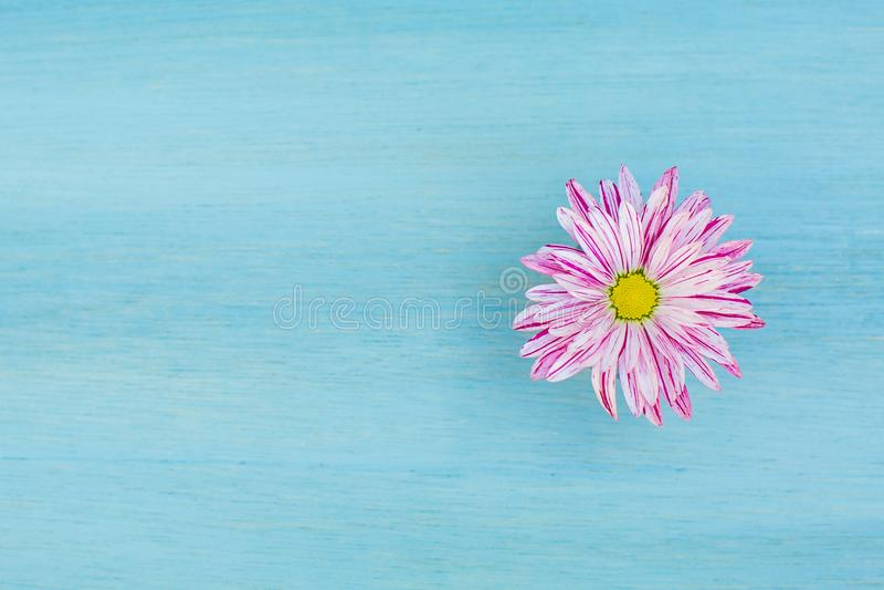 Flor rosada hermosa de la margarita en el fondo de madera azul fotografía de archivo