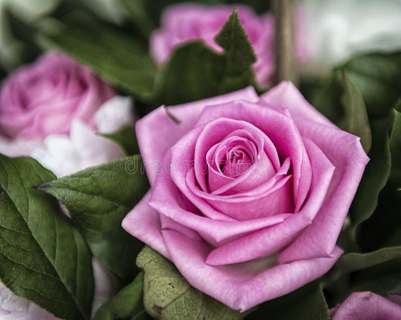 Flor rosada hermosa de Rose en el jardín, el regalo perfecto para todas las ocasiones fotografía de archivo libre de regalías