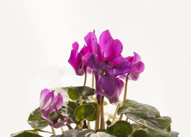 Flor rosada hermosa del ciclamen en maceta fotografía de archivo