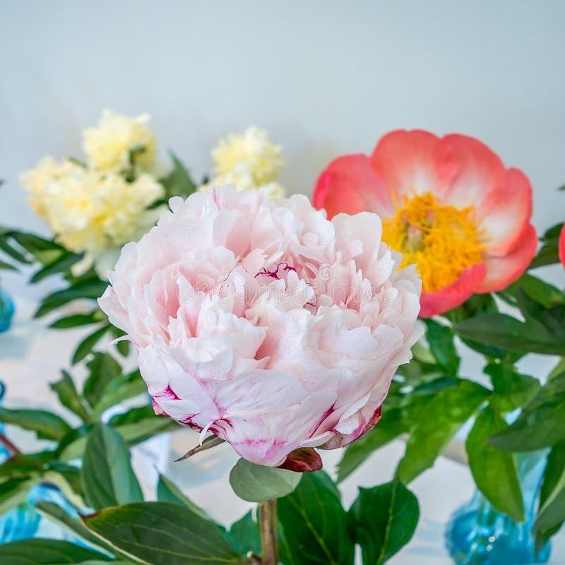 Flor rosada hermosa del peony fotografía de archivo