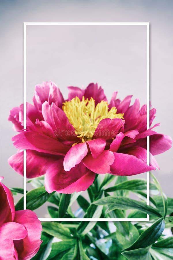Flor rosada hermosa del peony imagenes de archivo