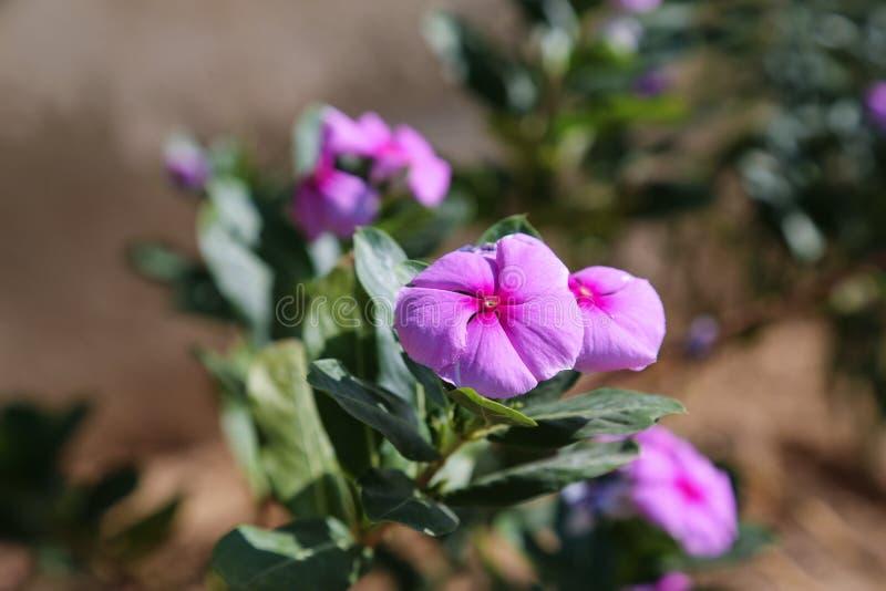 Flor rosada hermosa en el jardín imágenes de archivo libres de regalías