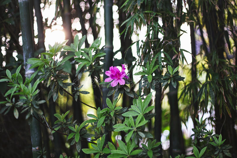 Flor rosada hermosa en un fondo de una arboleda de bambú Los rayos de la puesta del sol en el bosque imagen de archivo