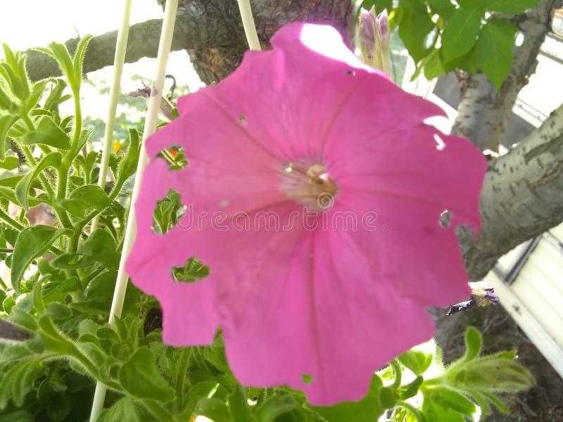 Flor rosada Holey foto de archivo