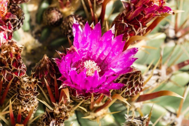 Flor rosada magenta en un cactus de barril cubierto en gotas de lluvia, California fotografía de archivo libre de regalías