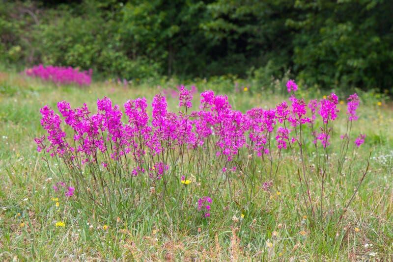 flor rosada nórdica del prado fotos de archivo