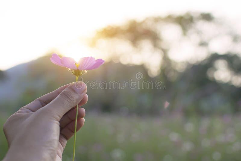 Flor rosada o púrpura del control de la mano de la mujer del cosmos en jardín con el fondo del bokeh de la luz y del cielo del so imagenes de archivo