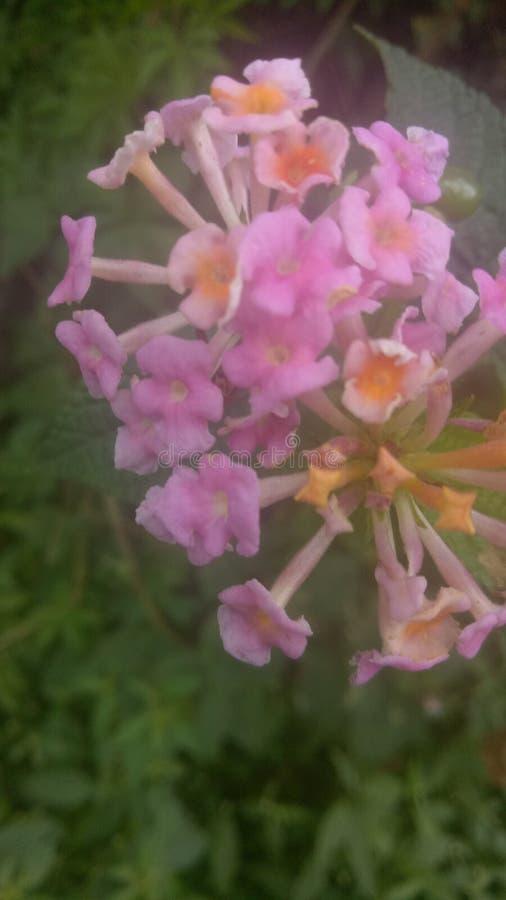 Flor rosada que brilla intensamente fotografía de archivo libre de regalías