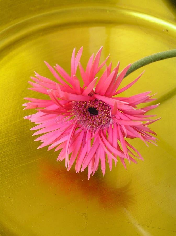 Flor rosada reflejada del gebera foto de archivo libre de regalías