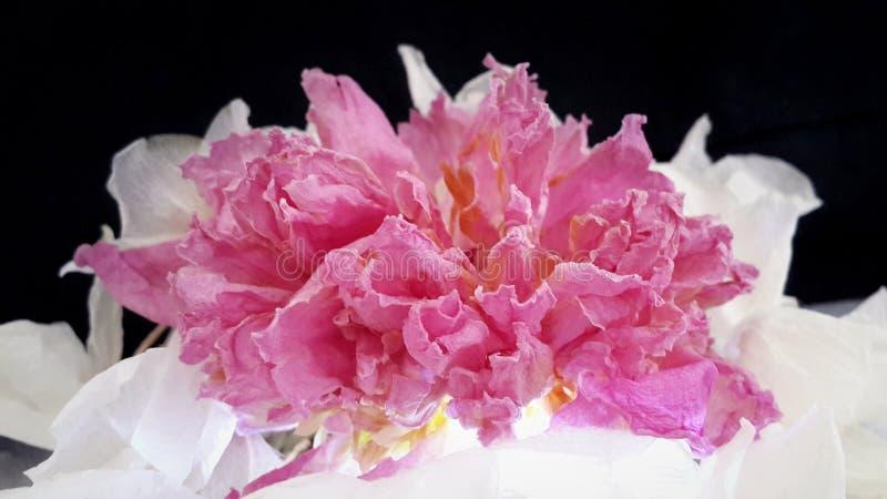 Flor rosada secada de la peonía y orquídea seca del blanco de los pétalos imagen de archivo