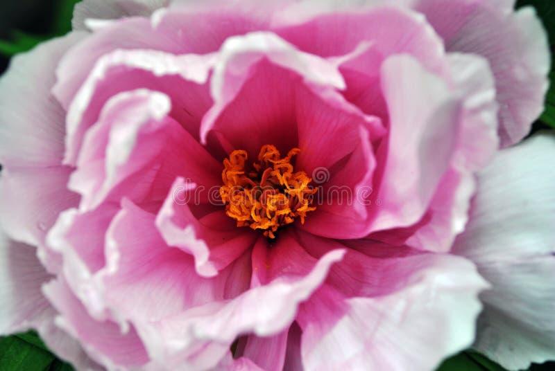 Flor rosada suave de la peonía con cierre mullido amarillo del pistilo y del estambre encima del detalle macro imagen de archivo