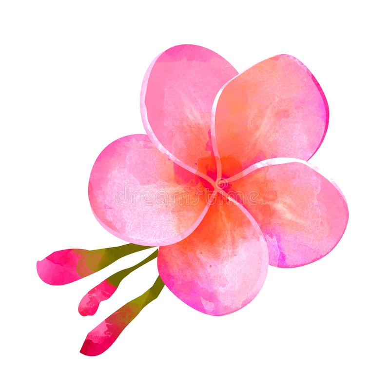 Flor rosada tropical del plumeria aislada en el fondo blanco imagen de archivo libre de regalías