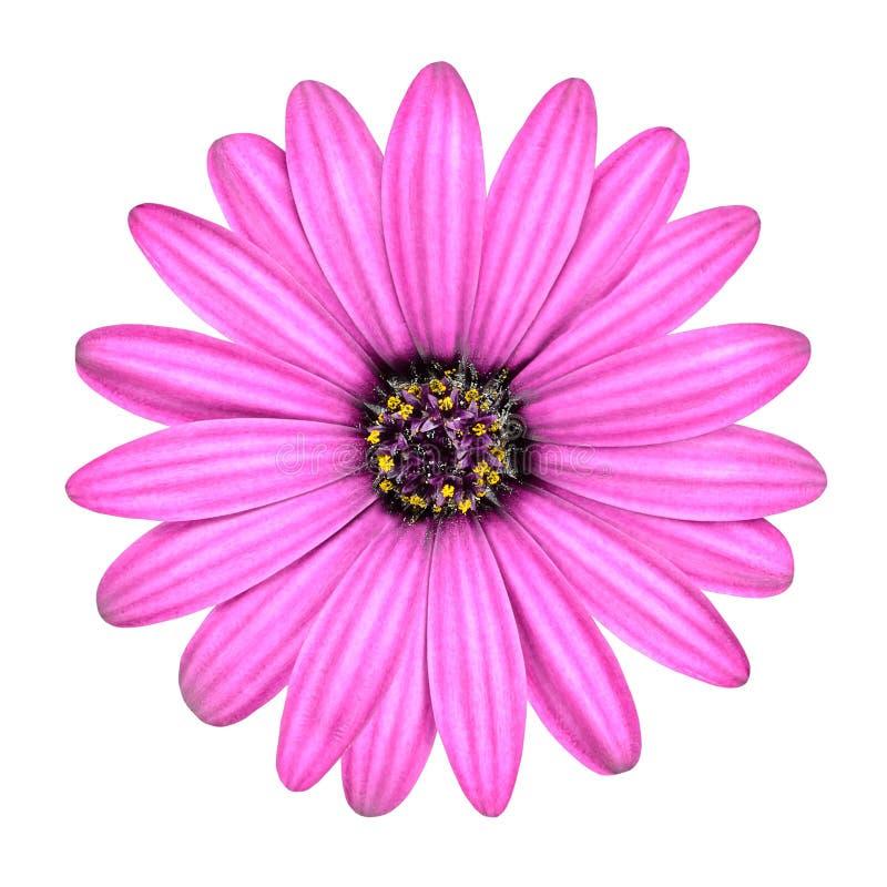 Flor rosada violeta de Osteosperumum aislada en blanco imágenes de archivo libres de regalías