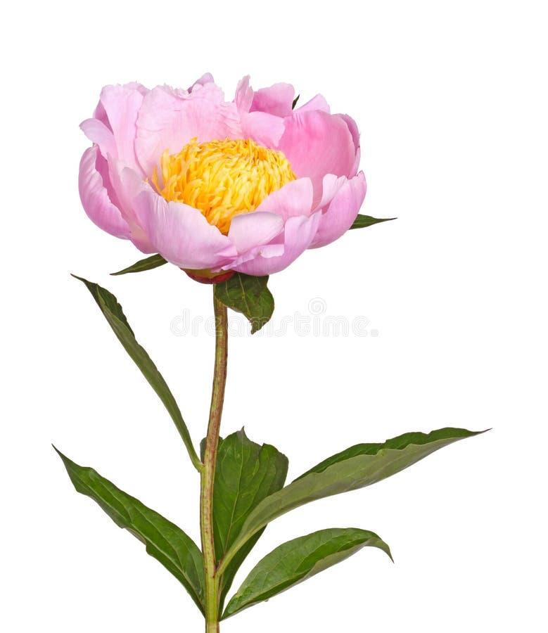 Flor rosada y amarilla de la peonía aislada fotografía de archivo libre de regalías