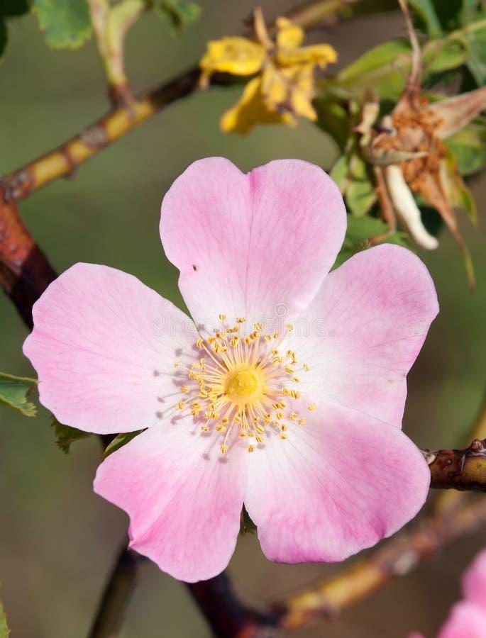 Flor rosada y amarilla de la perro-rosa imagenes de archivo