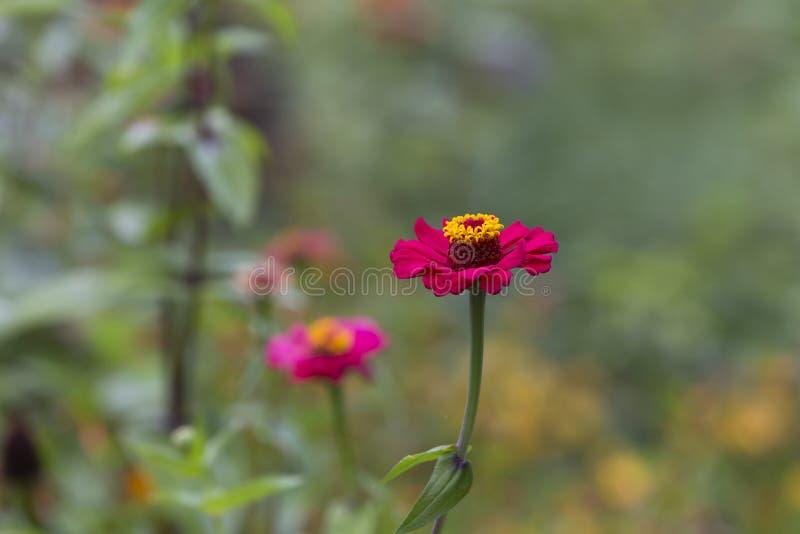Flor rosada y amarilla hermosa imagen de archivo libre de regalías