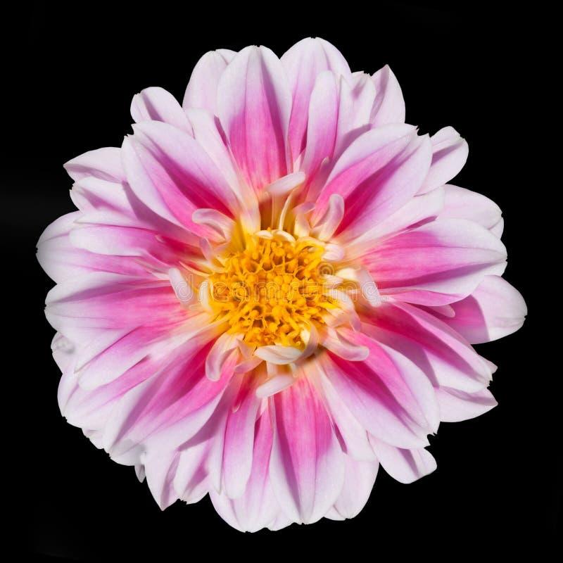 Flor rosada y blanca de la dalia aislada en negro fotografía de archivo