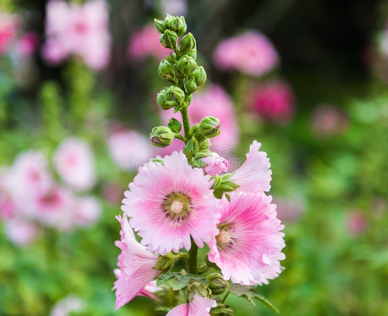 Flor rosada y blanca de la malvarrosa imagen de archivo for Malvarrosa planta