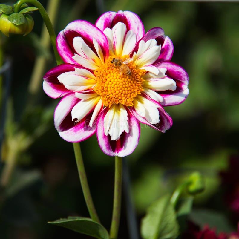 Flor rosada y blanca del aster con una abeja que poliniza Centro amarillo, pétalos blancos rodeados por los pétalos rosados imagen de archivo