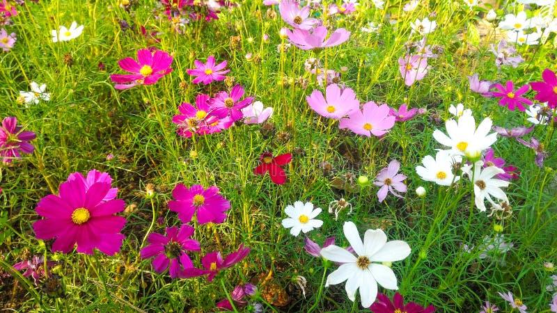 Flor rosada y blanca del cosmos imagen de archivo