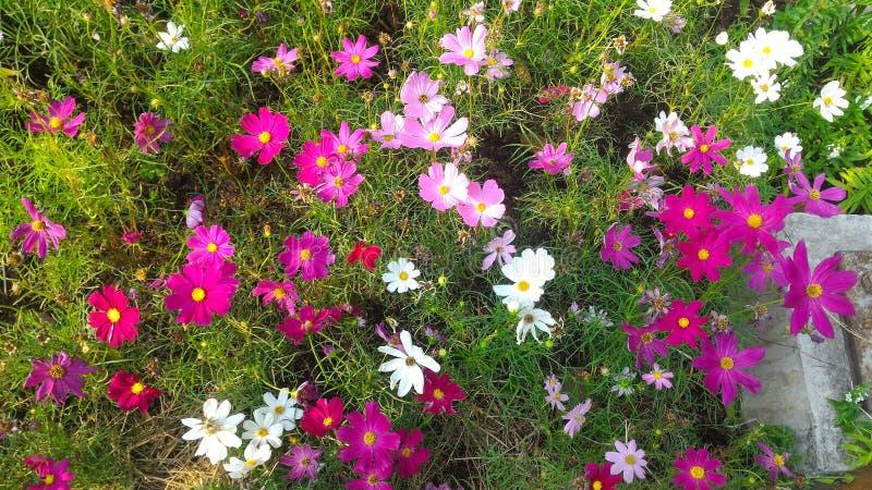 Flor rosada y blanca del cosmos imagenes de archivo