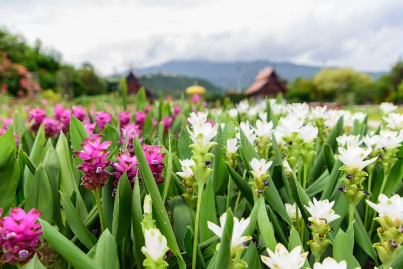 Flor rosada y blanca del tulipán de Tailandia y x28; Alismatifolia& x29 de la cúrcuma; flor fotos de archivo libres de regalías