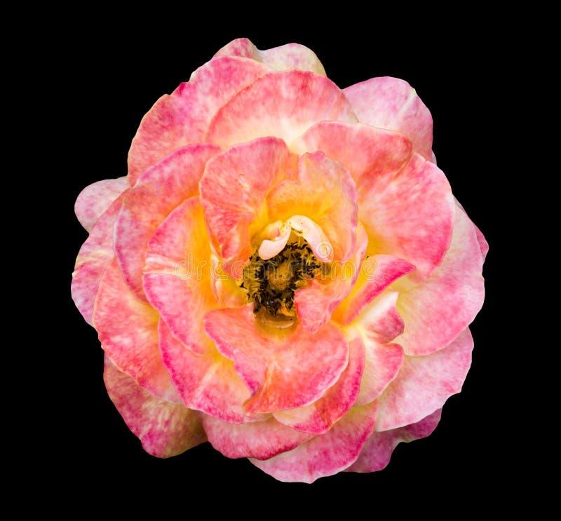 Flor rosada y blanca exótica blanda natural de la rosa aislada fotos de archivo libres de regalías