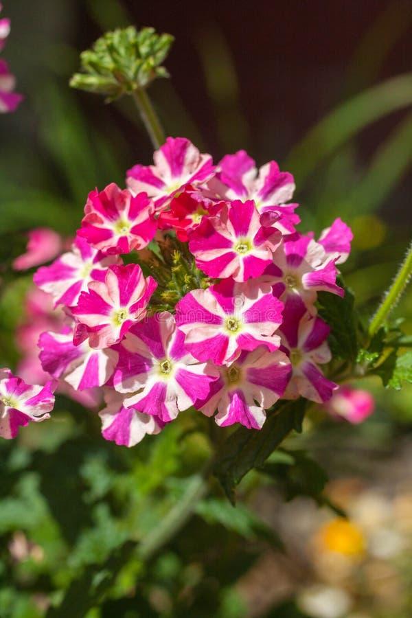 Flor rosada y blanca hermosa de la verbena en el jardín imágenes de archivo libres de regalías