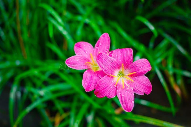 Flor rosada, Zephyranthes grandiflora en fondo de la naturaleza fotografía de archivo