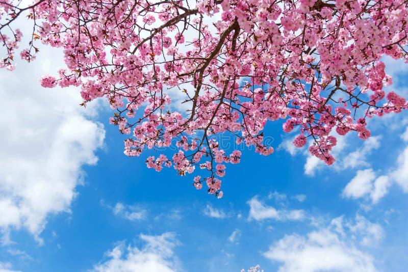 Flor rosado con astuto azul en Japón fotografía de archivo libre de regalías