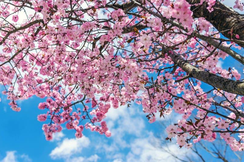 Flor rosado con el cielo azul en Japón imágenes de archivo libres de regalías