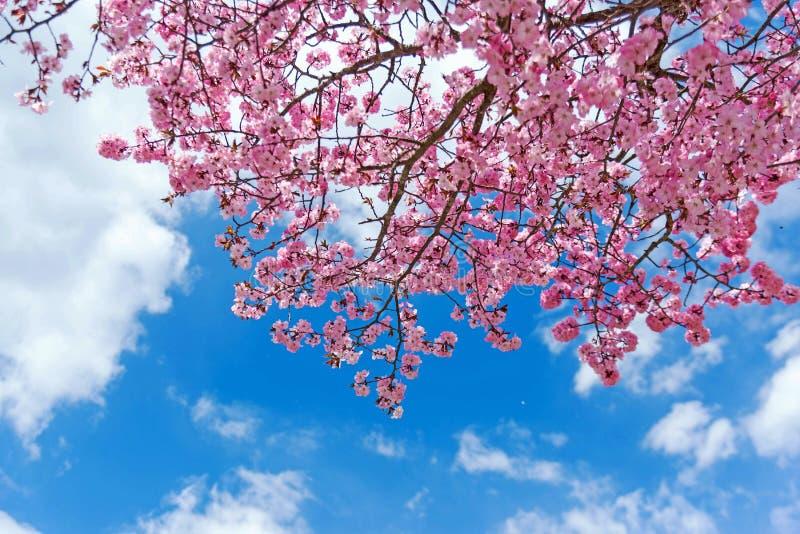 Flor rosado con el cielo azul en Japón foto de archivo
