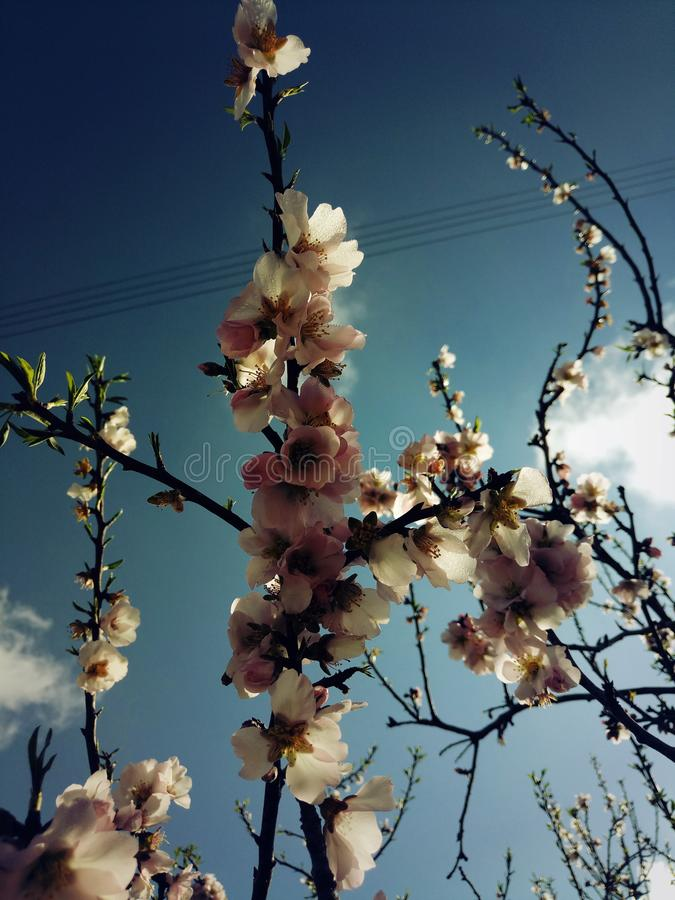 Flor rosado de la almendra imagen de archivo