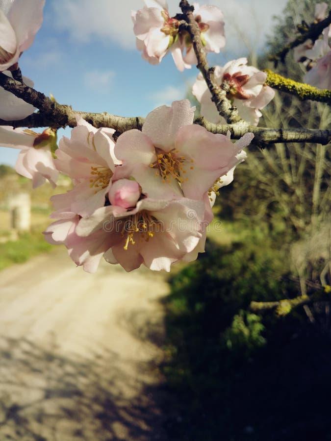 Flor rosado de la almendra fotos de archivo libres de regalías