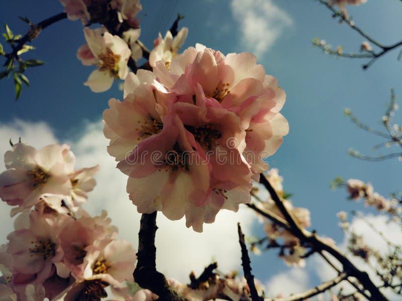 Flor rosado de la almendra foto de archivo